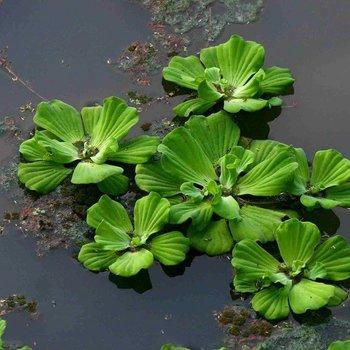 ⚡ Водная роза (водяной салат) сет 10 шт