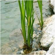Аир болотный - 3 шт (Секретное предложение)