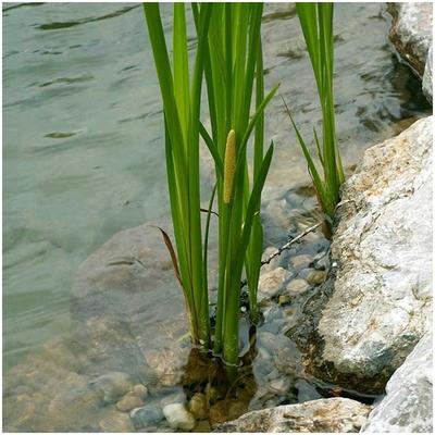 Прибрежное растение - Аир болотный - сет 10 шт.