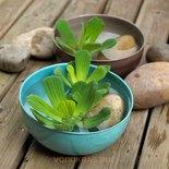 Водная роза (водяной салат) сет 10 шт