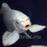 """Карп Кои """"Белый Ангел"""" (15-18 см)"""
