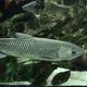 Белый амур мелкий (10-12 см)