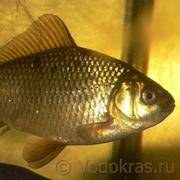 Карась золотой мелкий - 10 шт. (3-5 см)