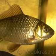 Карась золотой мелкий - 10 шт. (6-9 см)