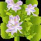 Плавающие прудовые растения