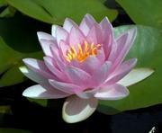 Кувшинка розовая с цветами - Formosa