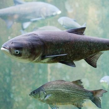 Толстолобик крупный (25-30 см)