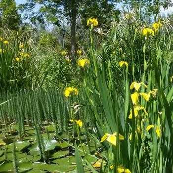 Цветущий сет! Калла болотная - 10 шт + Ирис - 10 шт = 20 шт.