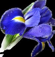 Ирис синий (нет в наличии)