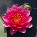 Кувшинка Джеймс Брайдон с цветами и бутонами