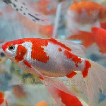 Карась средний красно-белый (10-13 см)