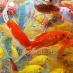 Карась мелкий красный (5-7 см)