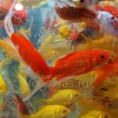 Карась мелкий красный (5-7 см) - 5 шт