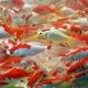 Карась мелкий красно-белый (5-7 см)