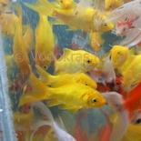 Карась мелкий желтый (7-10 см)