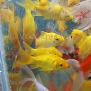 Карась мелкий желтый (7-10 см) - 5 шт