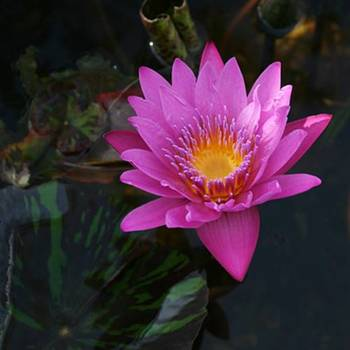 Нимфея розовая Королева Сиама