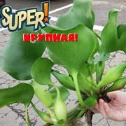 Эйхорния великолепная - крупная (25-40 см)