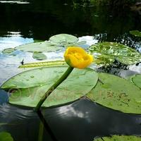 Кубышка желтая маточный куст