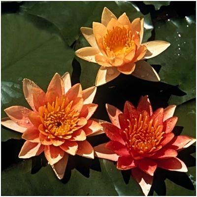 Кувшинка оранжевая с цветами