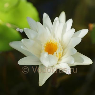 Кувшинка белая крупная (50-100 см)
