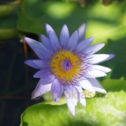 Кувшинка - Морская роза (клубень)