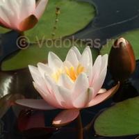 (нет в наличии) Кувшинка розовая для пруда с цветами (50-70 см)