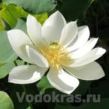 Лотос кремовый (Nelumbo cream) клубень - Акция!