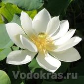 """Лотос кремовый """"Nelumbo cream"""" клубень"""