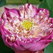 Лотос - Фиолетово-лиловый крупный цветок