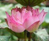 """Лотос для водоёма на даче розовый """"Special Pink"""""""