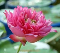 Лотос розово-красный Special