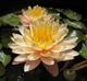 Нимфея персиковая махровая
