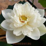 Лотос белый махровый для пруда, вазона