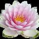Крупные кувшинки с цветами для пруда