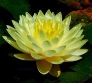 Нимфея с цветами лимонная махровая – Norma Gode