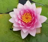 Розовая лилия полумахровая- Nymphaea Fabiola