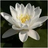 Кувшинка белая маточная, крупная (80-100 см)