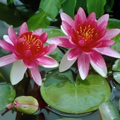 Кувшинка красная цветущая (50-70 см)