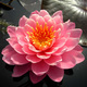 Кувшинка розовая махровая