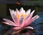 Водная лилия с крупными цветами – Марлиака розея