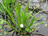 Водная пальма - чистильщик