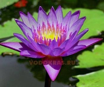 Нимфея пурпурная - Панама пацифик