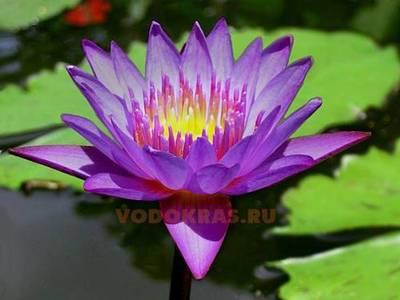 Нимфея пурпурная (нет в наличии)