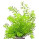 Перистолистник зеленый