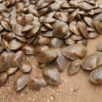 ⚡  Перловица (мидия) мелкая (7-12 см) - 5 кг