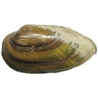 Перловица (мидия) мелкая (6-12 см) 10 шт.
