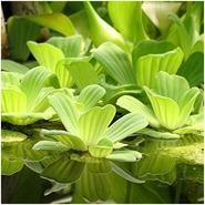 Пистия плавающая - водяной салат
