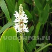 Понтедерия белая - клубень