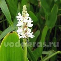 Понтедерия белая (клубень)